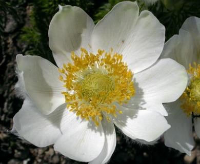 Anemone occidentalis
