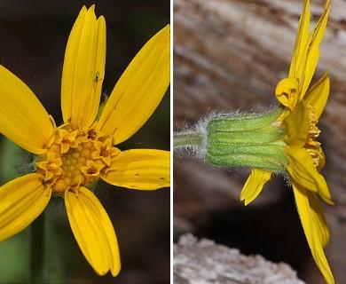 Arnica cordifolia