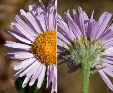 Erigeron aliceae
