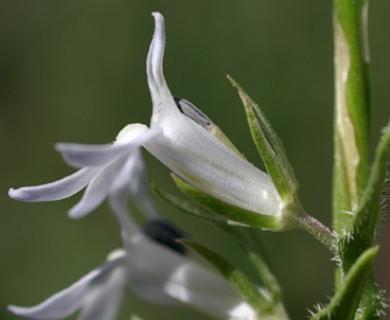 Lobelia spicata
