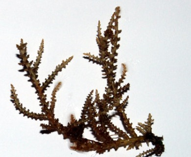 Acanthophora spicifera