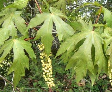Acer Macrophyllum Bigleaf Maple