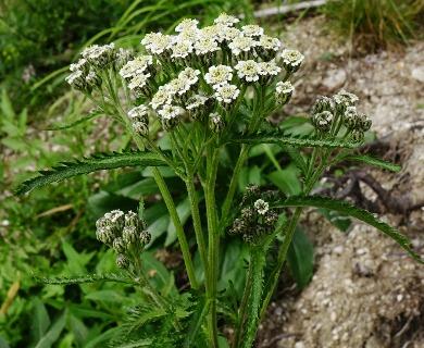 Achillea alpina