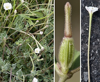 Acleisanthes longiflora
