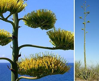Agave chrysantha