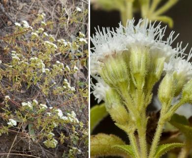 Ageratina paupercula