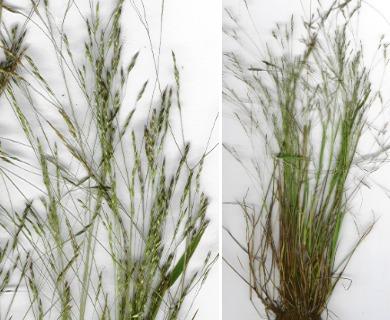 Agrostis avenacea