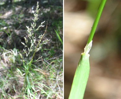 Agrostis hallii
