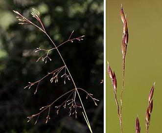 Agrostis scabra