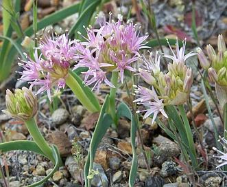 Allium anceps
