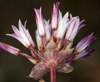 Allium atrorubens