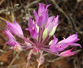Allium bolanderi