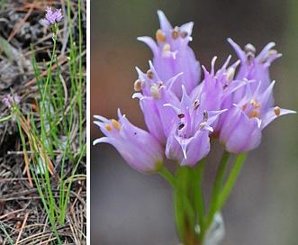 Allium geyeri