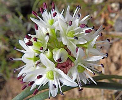Allium macrum