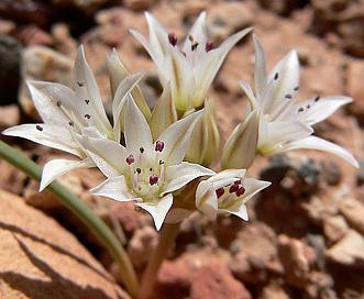 Allium nevadense