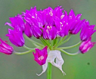 Allium perdulce