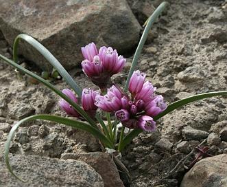 Allium scilloides