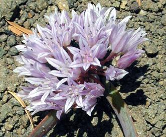 Allium siskiyouense