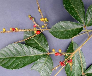 Allophylus cominia