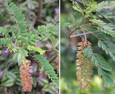 Alvaradoa amorphoides
