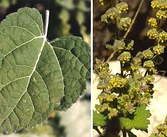 Ambrosia cordifolia