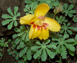 Amoreuxia palmatifida