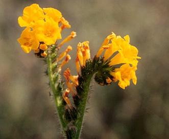 Amsinckia spectabilis