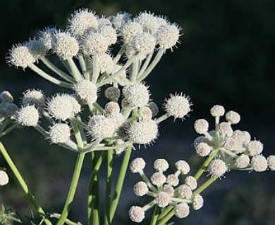 Angelica capitellata