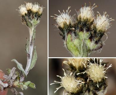 Antennaria pulchella