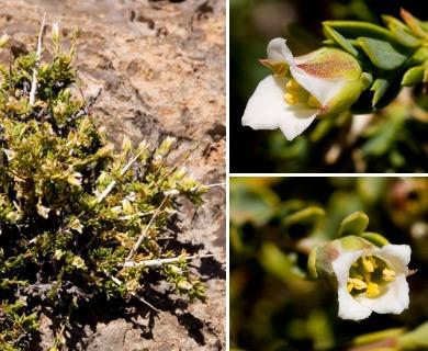 Apacheria chiricahuensis