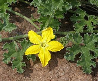 Apodanthera undulata