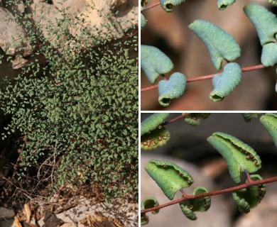Argyrochosma microphylla