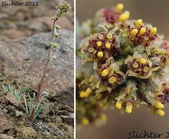 Artemisia furcata