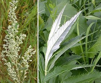 Artemisia serrata