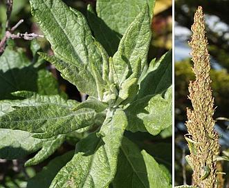 Artemisia suksdorfii