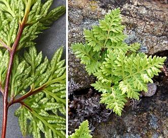Aspidotis carlotta-halliae