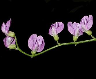 Astragalus applegatei