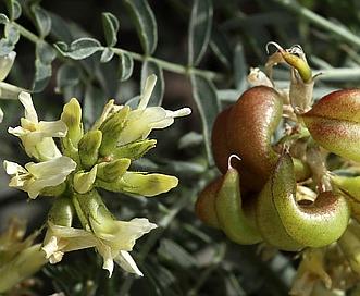 Astragalus bolanderi