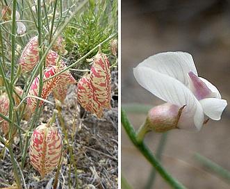 Astragalus ceramicus