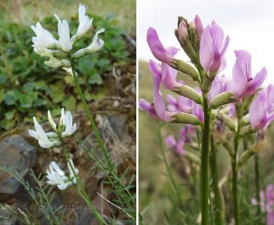 Astragalus conjunctus
