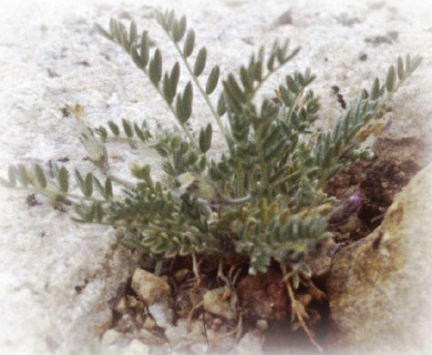 Astragalus molybdenus
