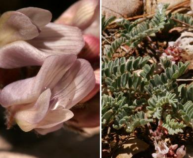 Astragalus pictiformis