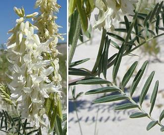 Astragalus racemosus