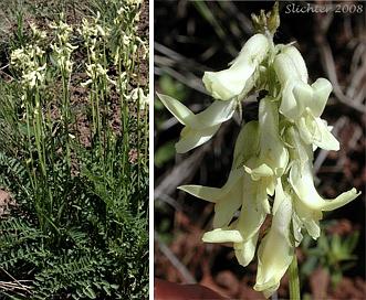 Astragalus reventus