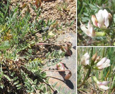 Astragalus salmonis