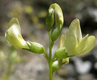 Astragalus tricarinatus