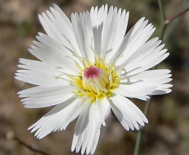 Atrichoseris platyphylla