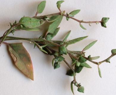Atriplex glabriuscula