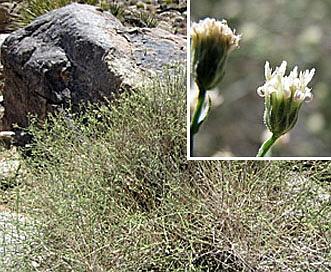 Baccharis brachyphylla