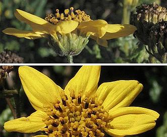 Bahiopsis laciniata